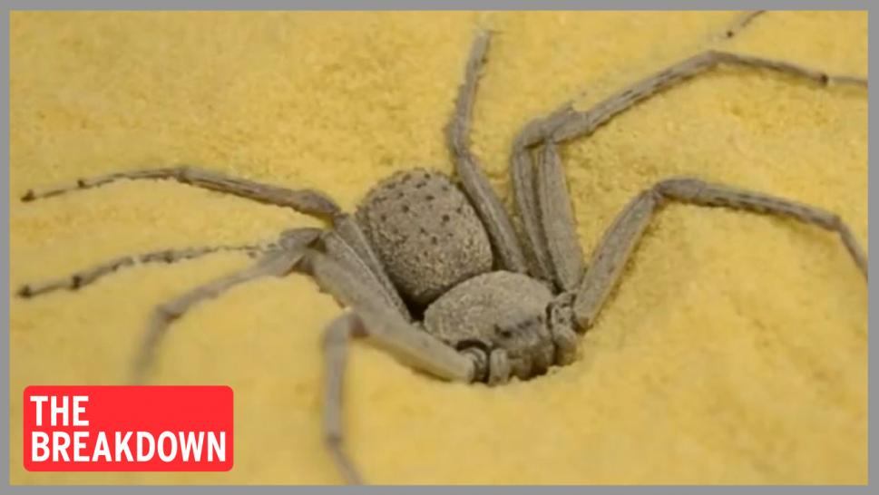 The six-eyed venomous sand spider was stolen from the Philadelphia Insectarium in 2018