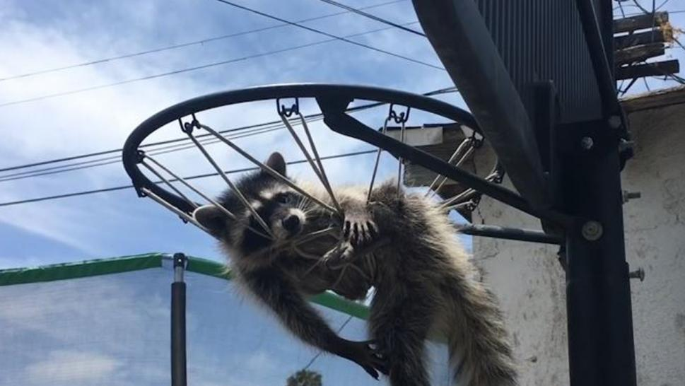 Animal control employees removed this trapped baby raccoon from a basketball net.