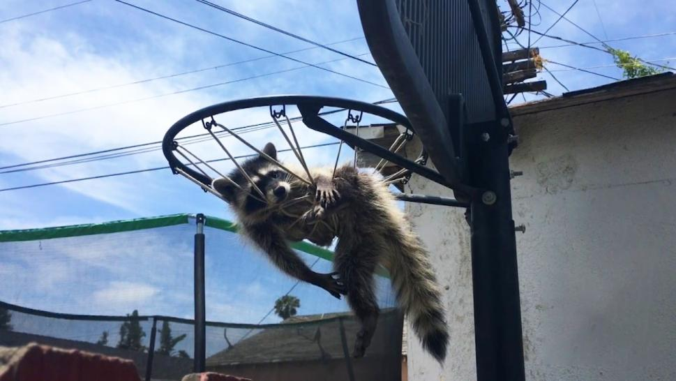 Raccoon stuck in a net