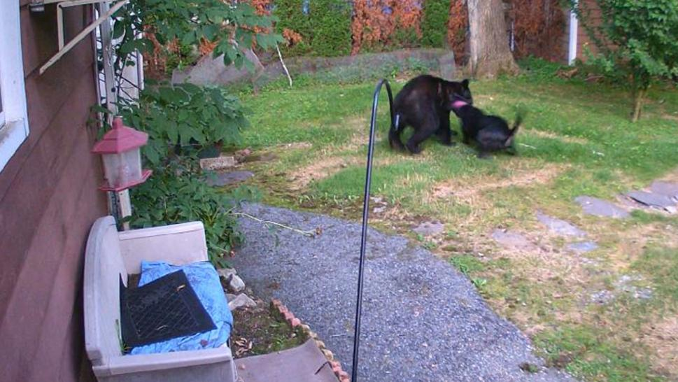 Dog doesn't think twice about attacking bear in neighbor's backyard.