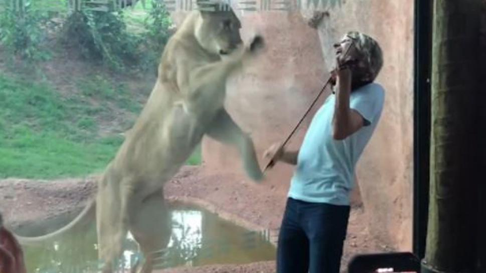 Kyle Dillingham serenades an unappreciative female lion at Oklahoma zoo.