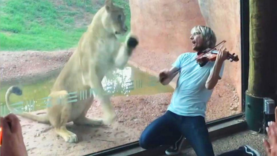 Lion being serenaded