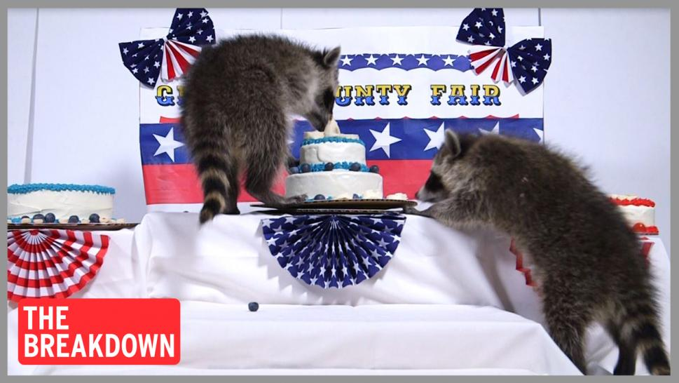 Raccoons eat cakes at Ohio county fair reconstruction