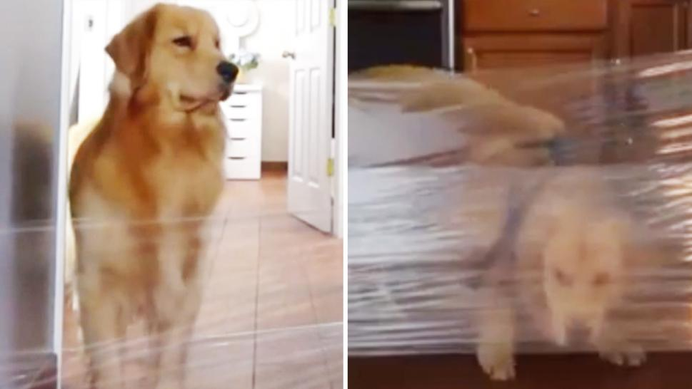 A poor golden retriever took a few tries before it figured out how to maneuver the plastic wrap.