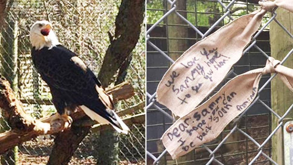 Sammy, the injured bald eagle, was stolen from his home and sanctuary workers are praying for his safe return.