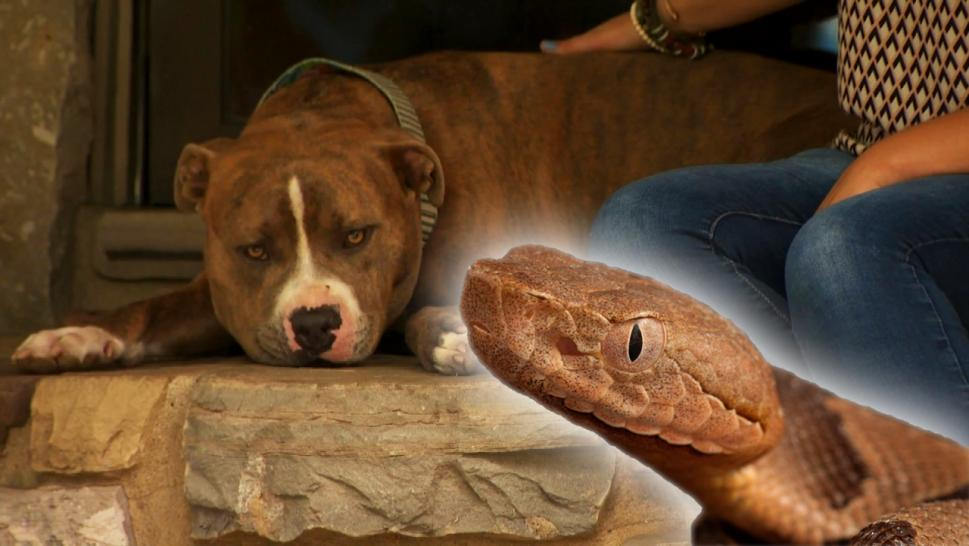 Tennessee Woman Saved From Copperhead Snake by Loyal Pit Bull