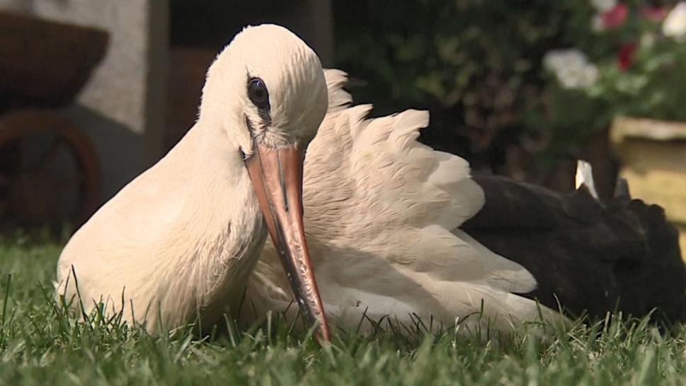 Abandoned Stork Adopted by Polish Family