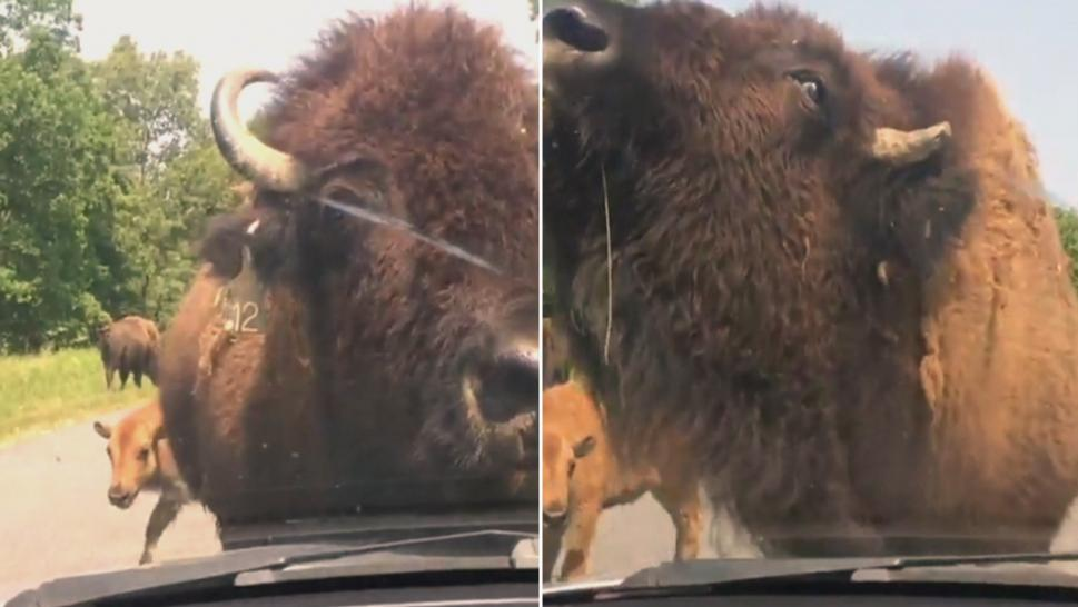 This bison just couldn't scratch his itch.