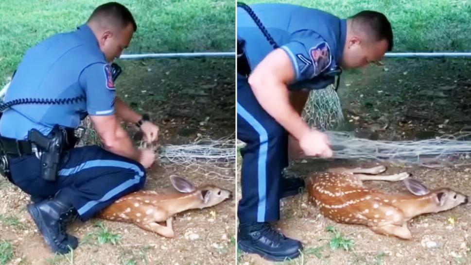 A police officer helped untangle the poor fawn from the goalie's net.