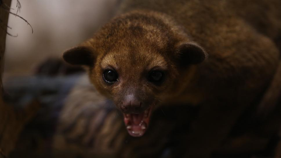 Man Attacked by Kinkajou: 'It Sounded Like a 300-Pound Man Was Tackling Him'