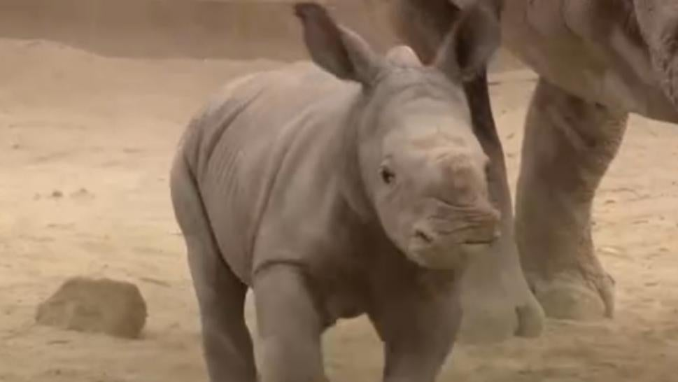 A baby southern white rhino is thriving after being born at the San Diego Zoo through artificial insemination.