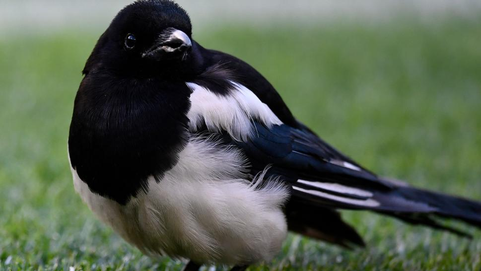 When magpies get aggressive they swoop from the sky in an effort to protect their young from perceived threats.