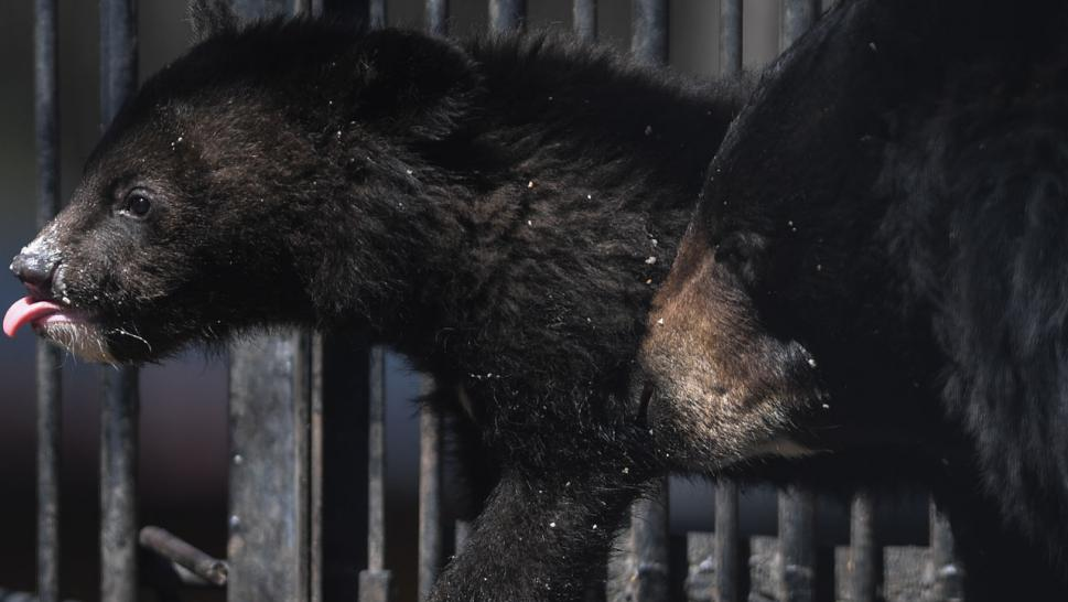 Bear Cubs Manage to Lock Themselves Inside Security Van