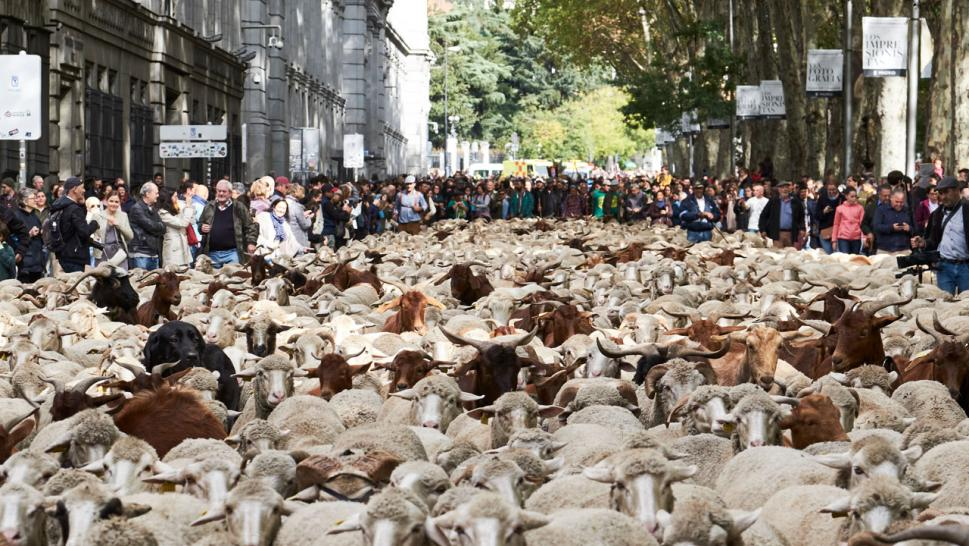 Thousands of Sheep Replace Cars in the Middle of Madrid for 25-Year-Old Annual Tradition