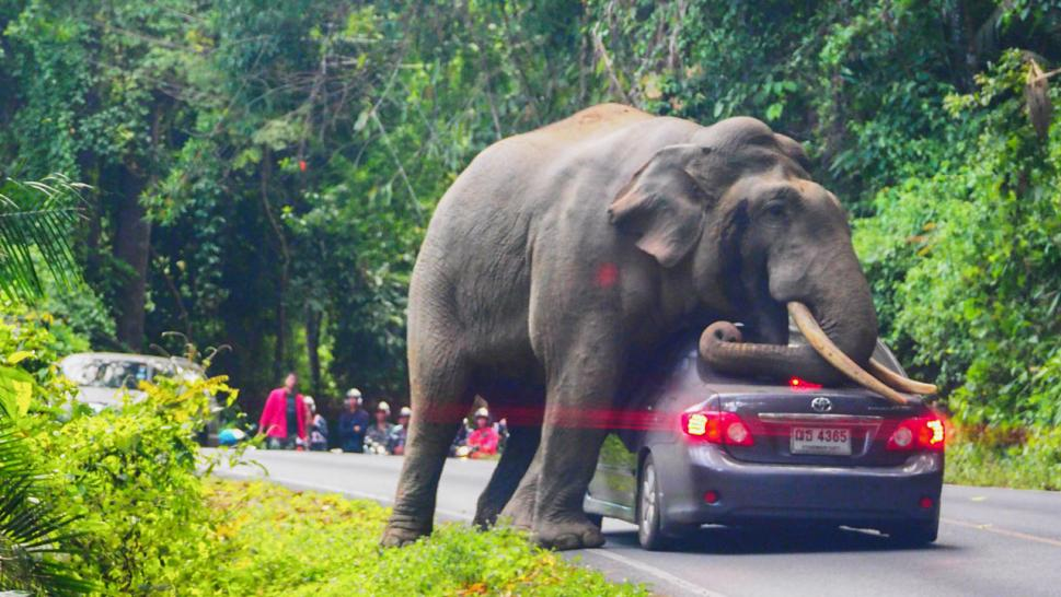 Elephant Drapes Itself Over Passing Car