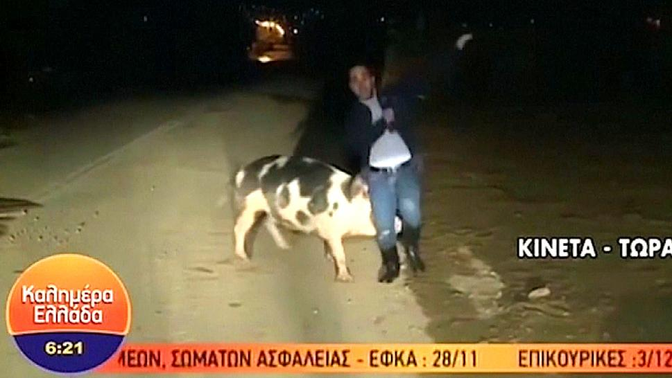 Pig Chases Reporter on Live TV