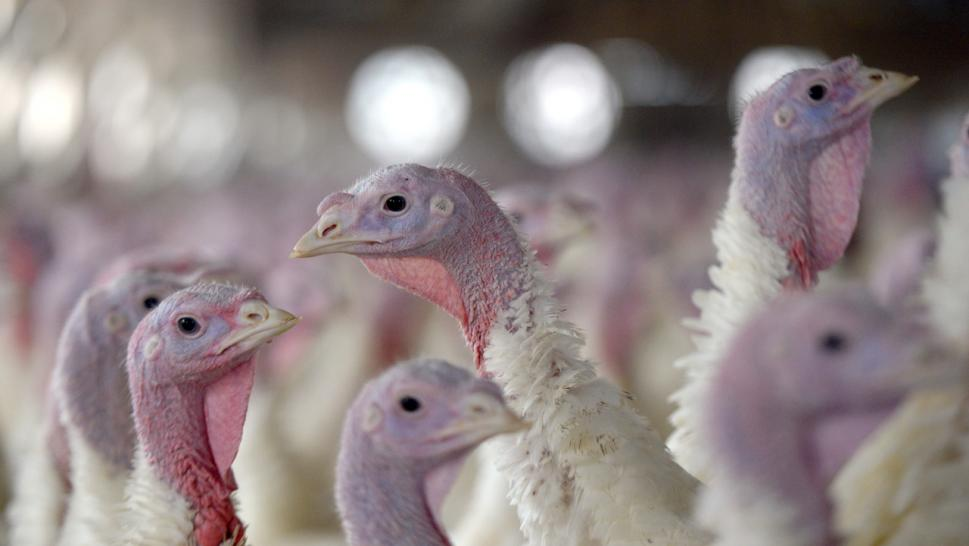 New Jersey Resident Claim Turkeys Are 'Terrorizing' Them
