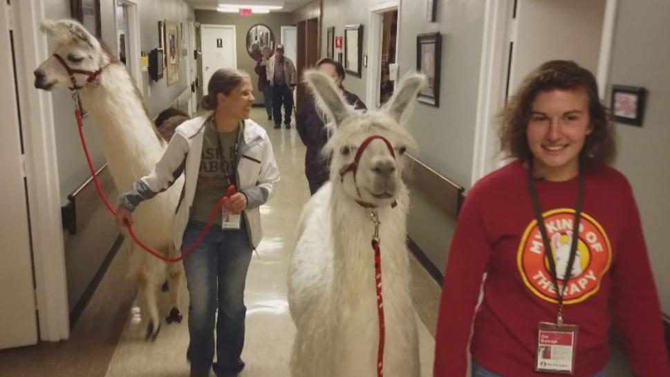 "Carol Tutledge raises the llamas on her farm and told Inside Edition that ""people's hearts melt"" around them."