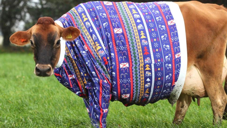 Cows in sweaters