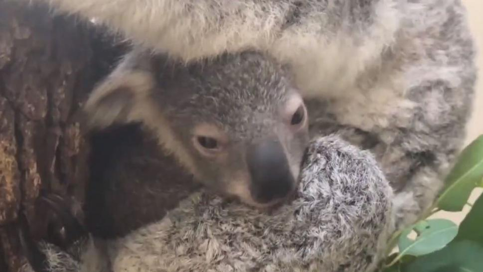 Hope the koala is offering up a little bit of good news amid Australia's devastating wildfires.