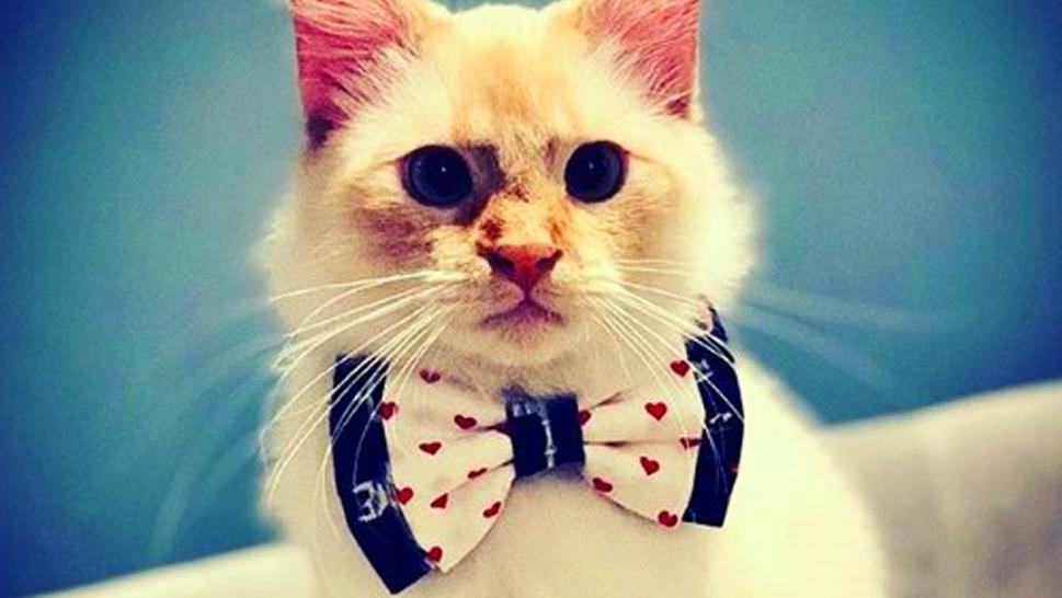Cat in a bow tie