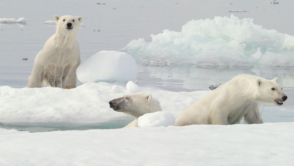 Climate Change Could Make Polar Bears Extinct By End of Century, Study Says