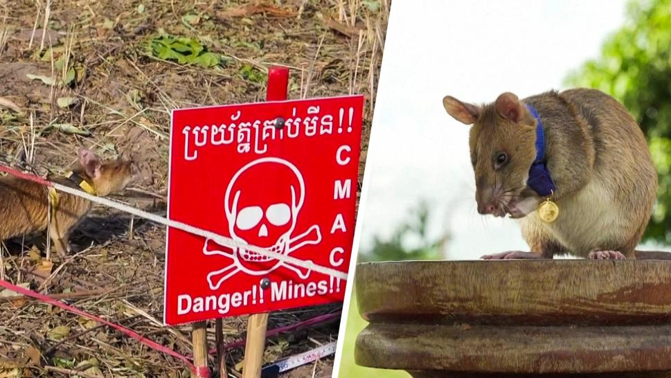 Rat Gets Gold Medal for Sniffing Out Landmines