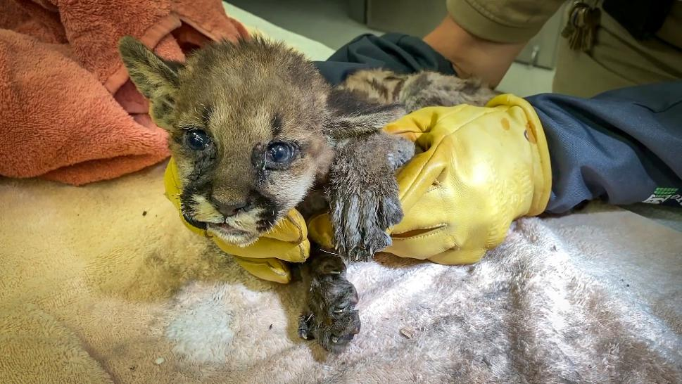Mountain Lion Cub Saved From Wildfire Gets Treated for Burns