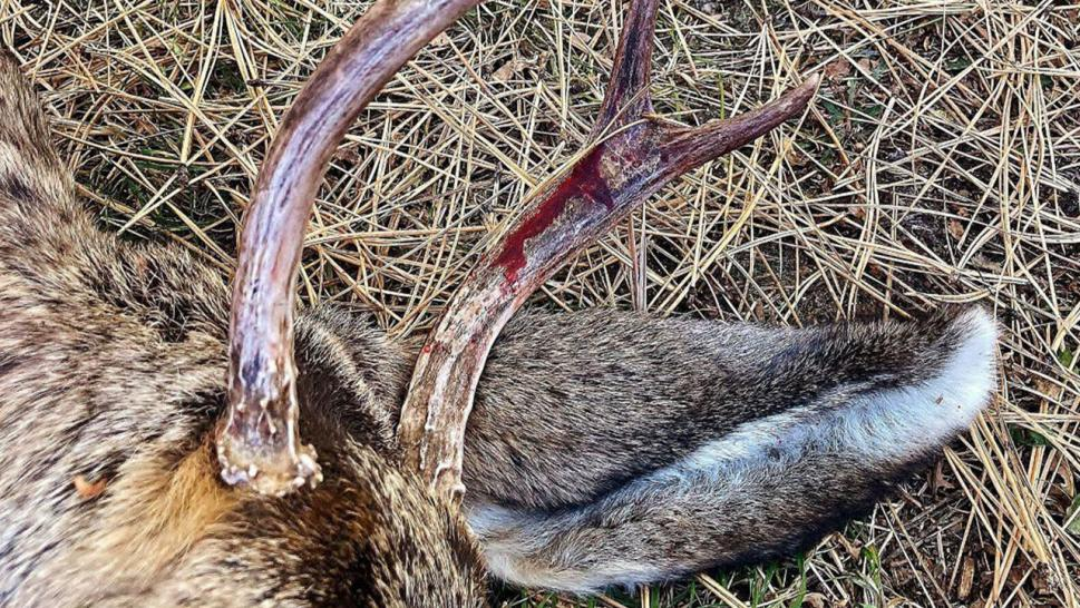 Blood stained on the young buck deer's antlers