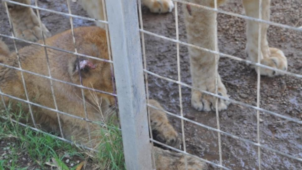 "An injured cub found at ""Tiger King Park"""