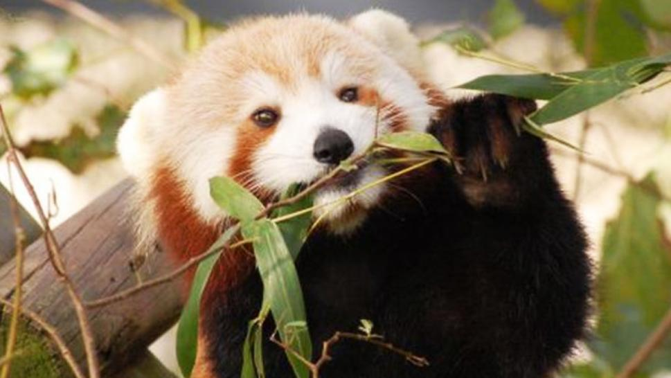 Sunny the red panda disappeared nearly 4 years ago. Despite massive search efforts, no one has seen him since.