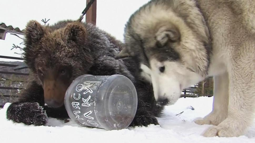 Rommi, a 4-year-old Alaskan Malamute and Andreyka, a 10-month-old bear cub.