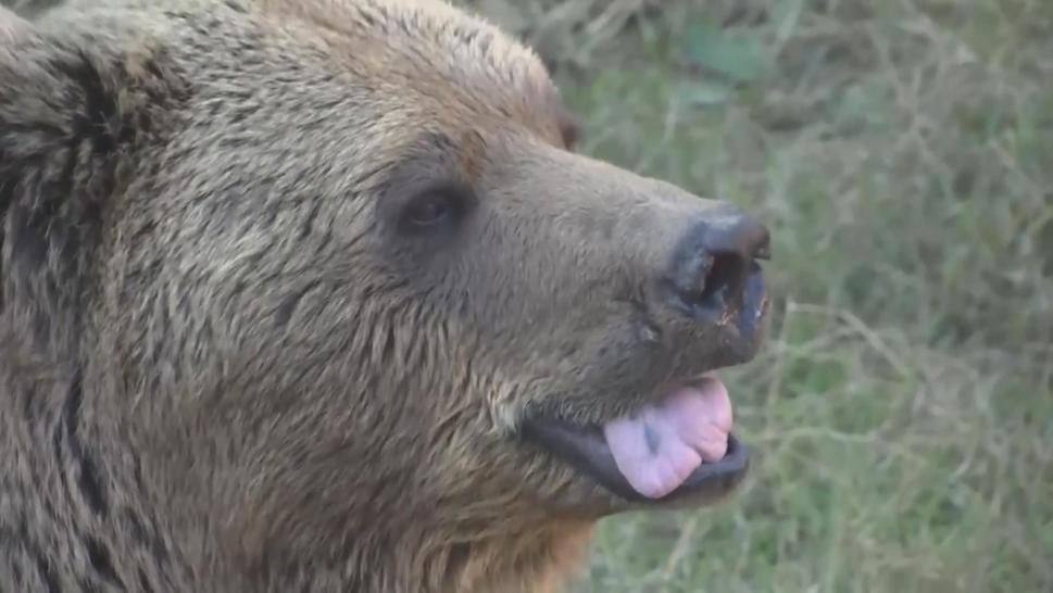Bubaloo the Himalayan Brown Bear