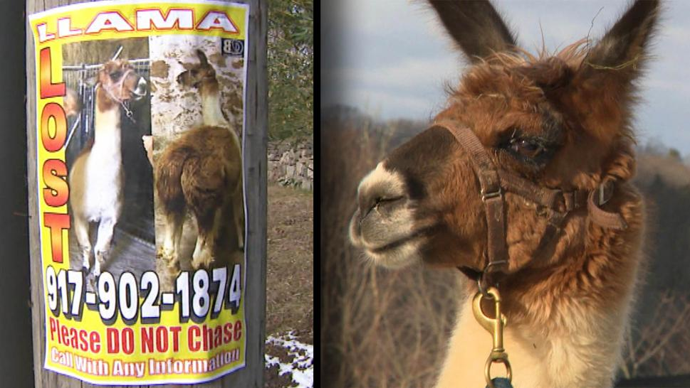 Missing Llama Found Lounging at Vacant Mansion
