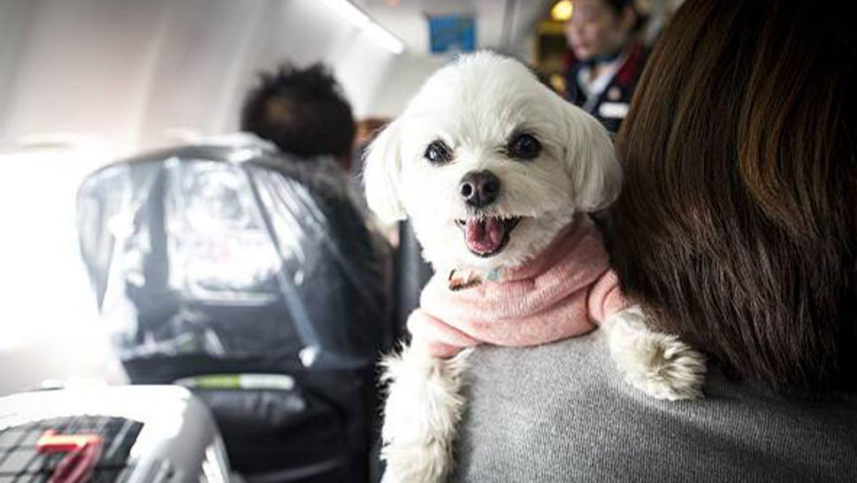 A furry pooch smiling on board a flight with its owner.