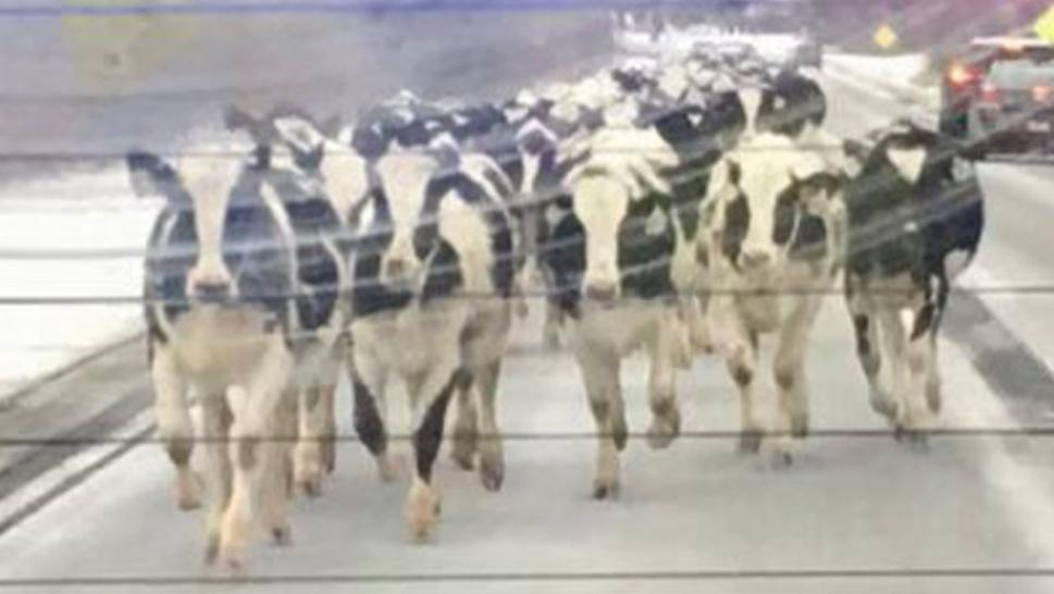 Herd of cows running down Indiana roadway