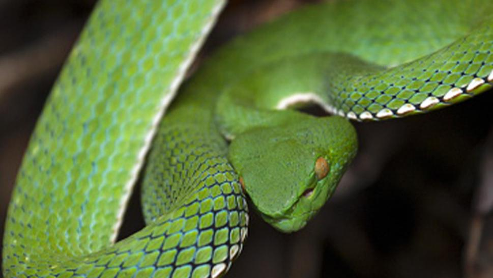 A stock image of the Vogel's Pit Viper (Trimeresurus vogeli), a snake of the similar species as African Bush Viper.