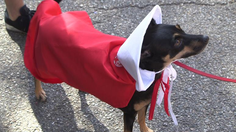 A mini pinscher takes a political stance by dressing up as a character from The Handmaid's Tale.