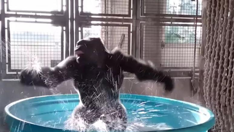 A splashing panda is getting almost as much as attention as Zola the dancing gorilla.