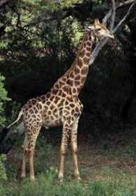 George the giraffe did nothing wrong, said a safari lodge spokesman.