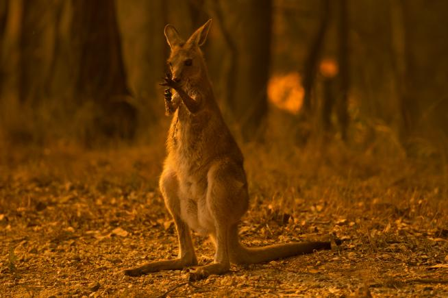 This wallaby is licking its burnt paws after escaping a bushfire on the Liberation Trail in New South Wales on Nov. 12, 2019.