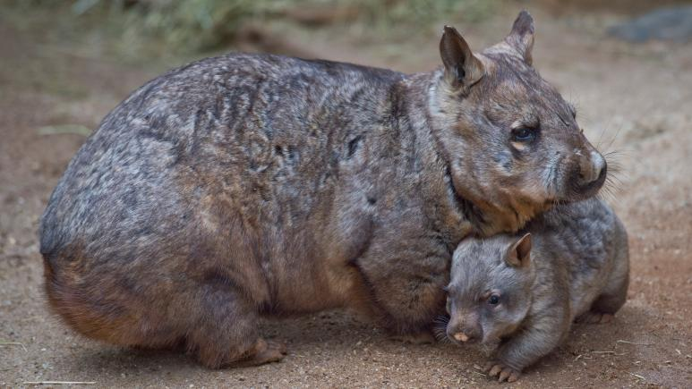 The wildfires in Australia have left many wombat joeys orphaned. Shown here is a mama and her baby at the Melbourne Zoo.