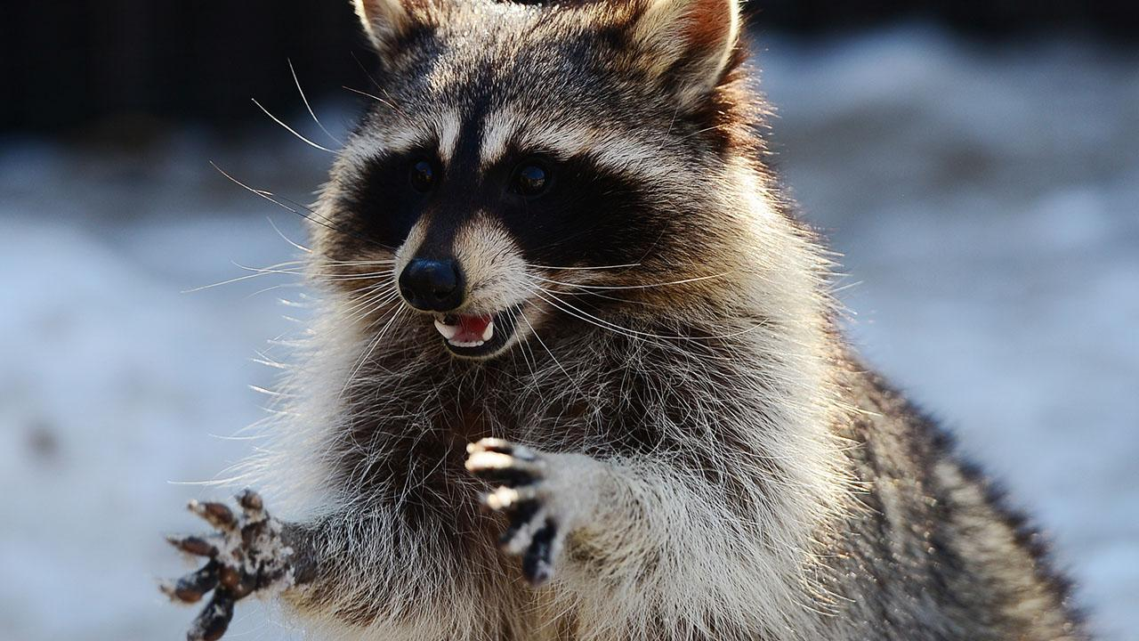 Baby Hospitalized After Being Attacked By Raccoon In Her