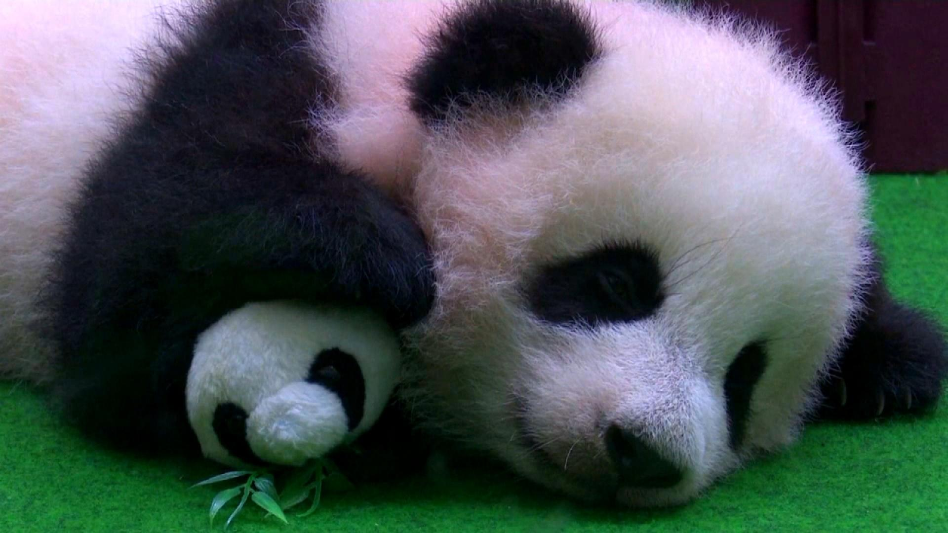 Cute Baby Panda Falls Asleep During Her Public Debut Inside Edition