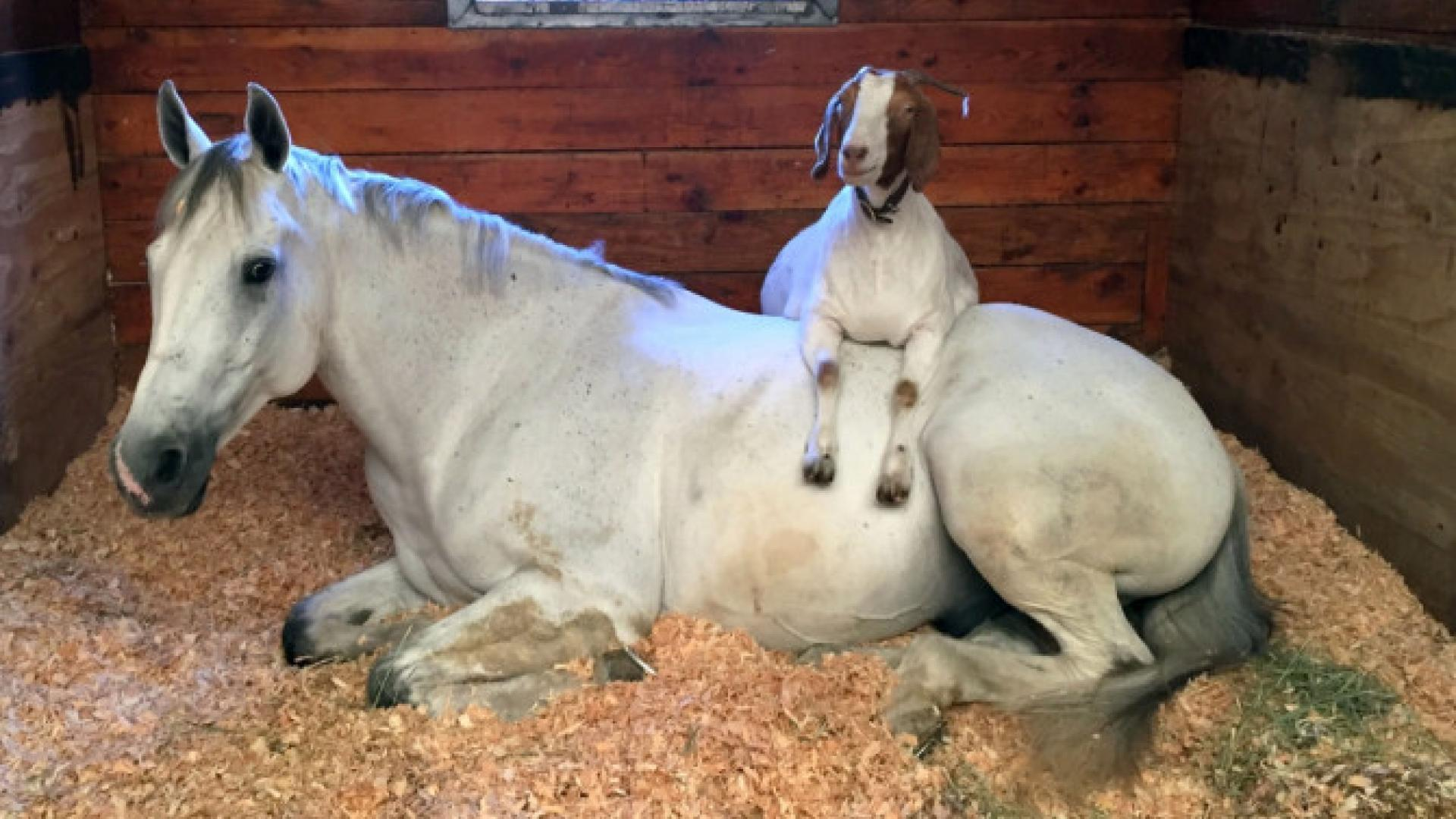 Rescue Goat Invades Personal Space Of Competitive Horse Bff By Lounging On His Back Inside Edition