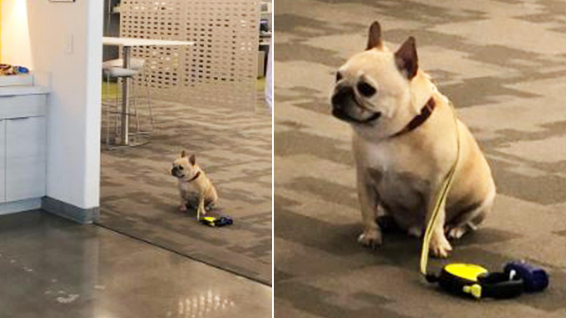 A Frenchie named Max waits obediently outside the office cafeteria.