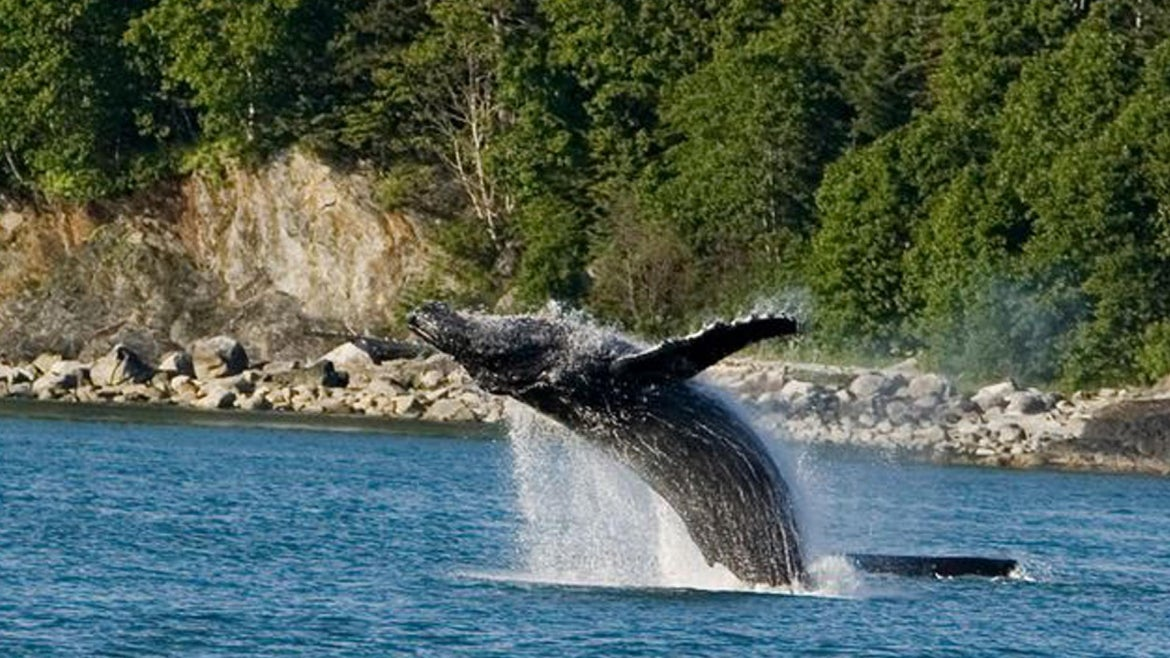 A humpback whale terrified a woman on board boat in Puget Sound.