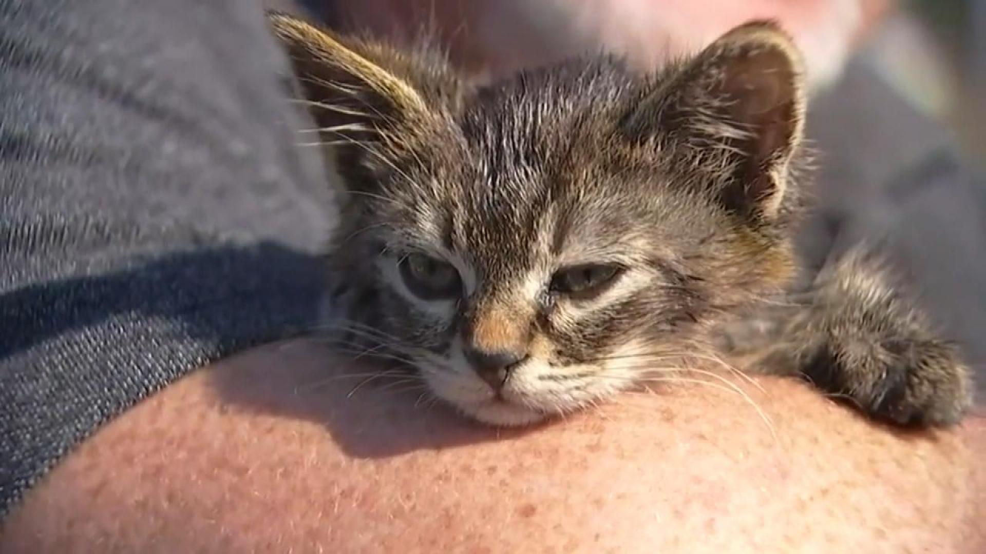 5 Week Old Kitten Named Sticky Found Glued To Busy Oregon Road Inside Edition