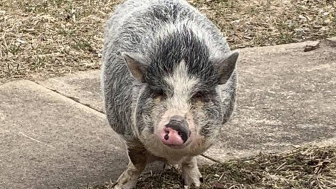 Pot-bellied pig Charlotte was led home with Oreos.