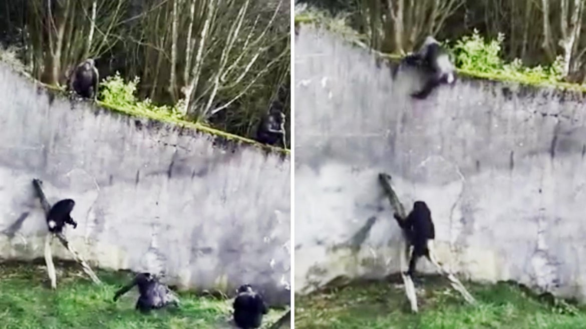 Chimpanzees climbed out of their enclosure at the Belfast Zoo.